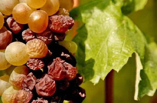 Aszúsodott szőlőfürt