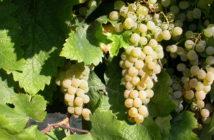 Badacsonyi Kéknyelű szőlőfürt